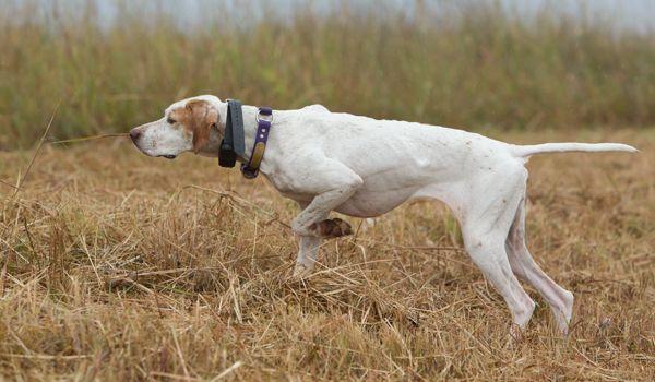 English Pointer Oak Ridge Pointing Dog Club